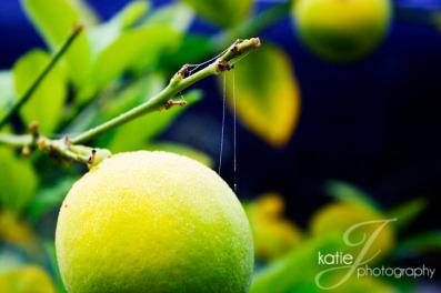 LemonTree1
