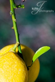 LemonTree3