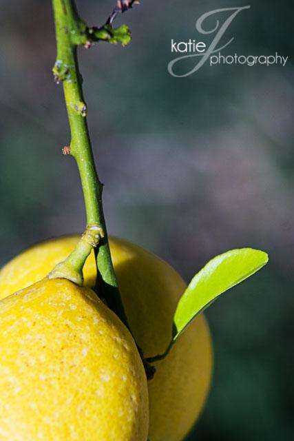 LemonTree3