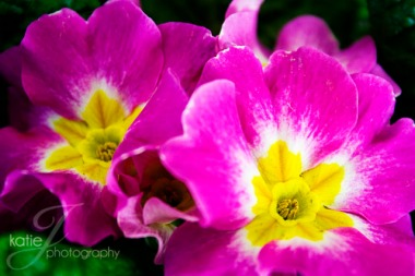 PinkYellowPrimrose