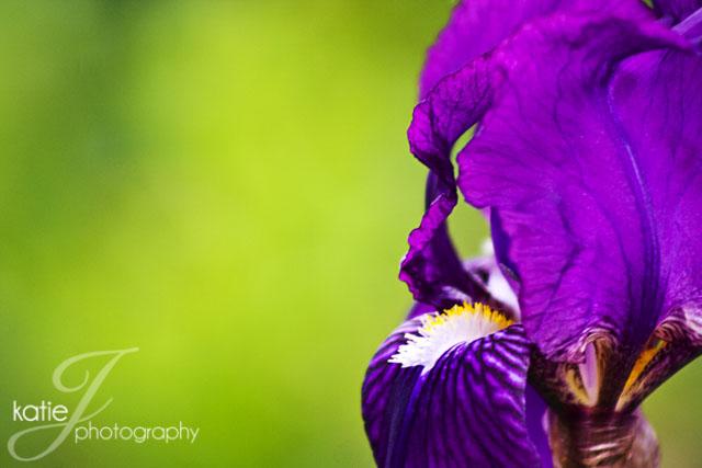 PurpleIris